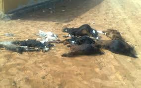 جماعة اخميس متوح :لصوص قاموا بتسميم الكلاب لسرقة رؤوس أبقار