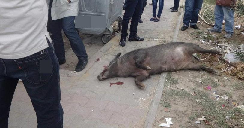 جماعة لغديرة:الخنزير البري يهجم على سكان الجماعة